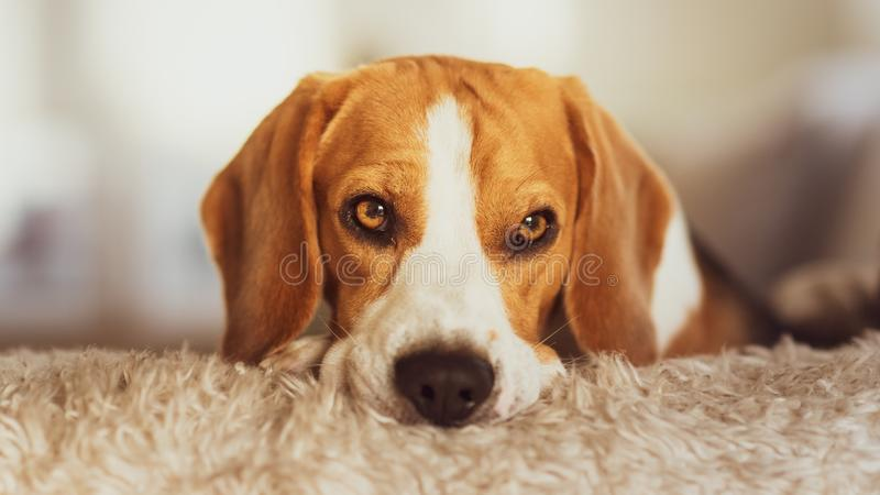 Beaglehundstående på en soffa royaltyfri fotografi