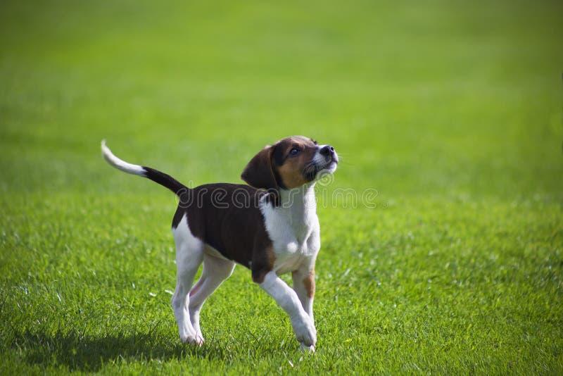 Beaglehundvalp fotografering för bildbyråer