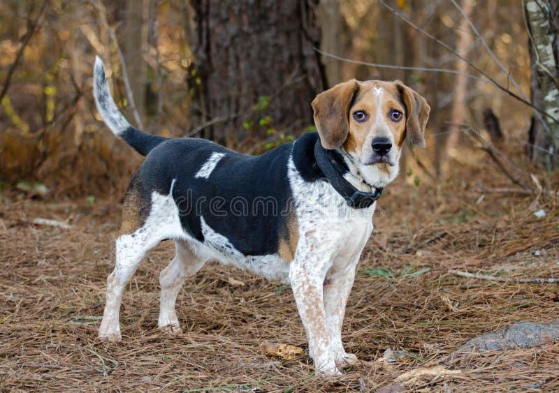 Beaglekaninhund royaltyfria foton