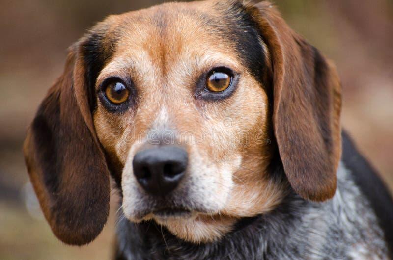 Beaglekaninhund arkivfoton