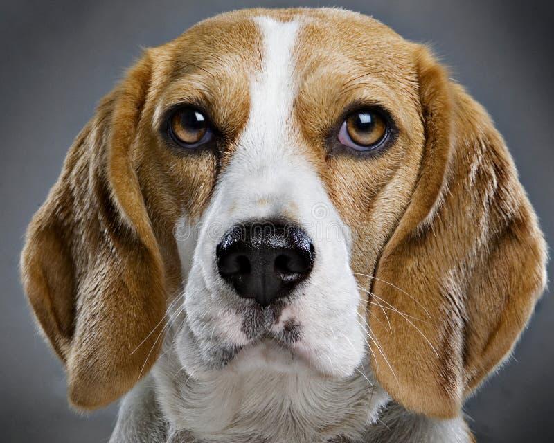 Beaglen förföljer royaltyfri foto