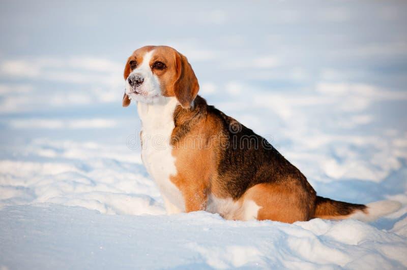 Beaglen förföljer ståenden i vinter royaltyfri bild