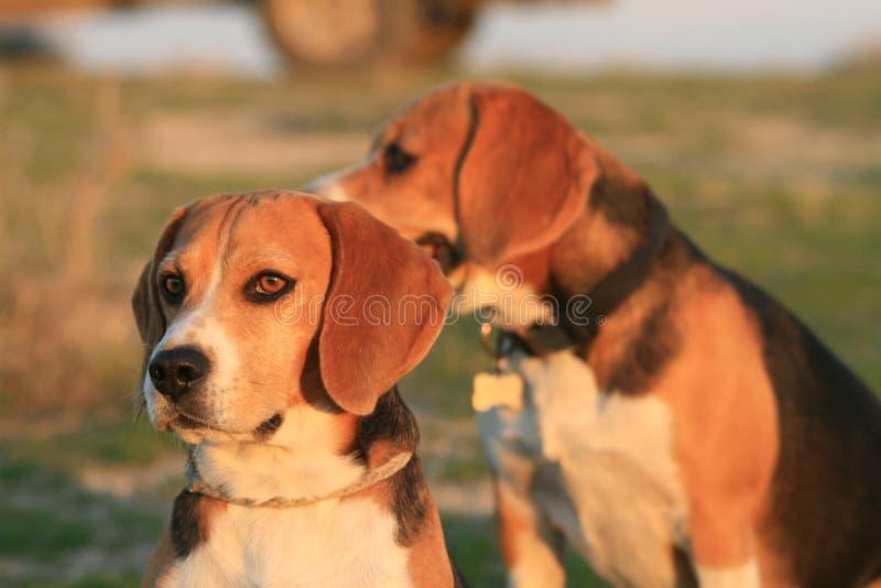 beagles fotografie stock libere da diritti