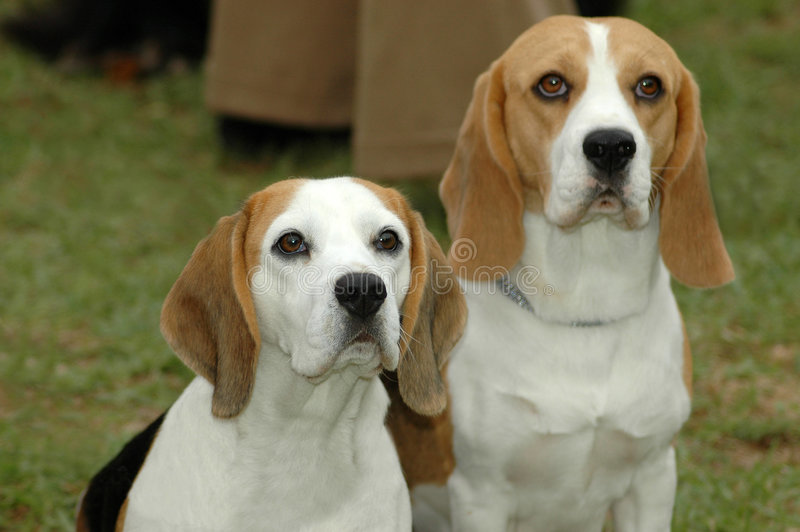 Beagles royalty free stock images