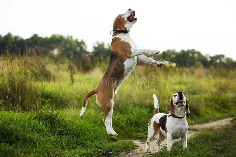 Beagles have fun stock photography