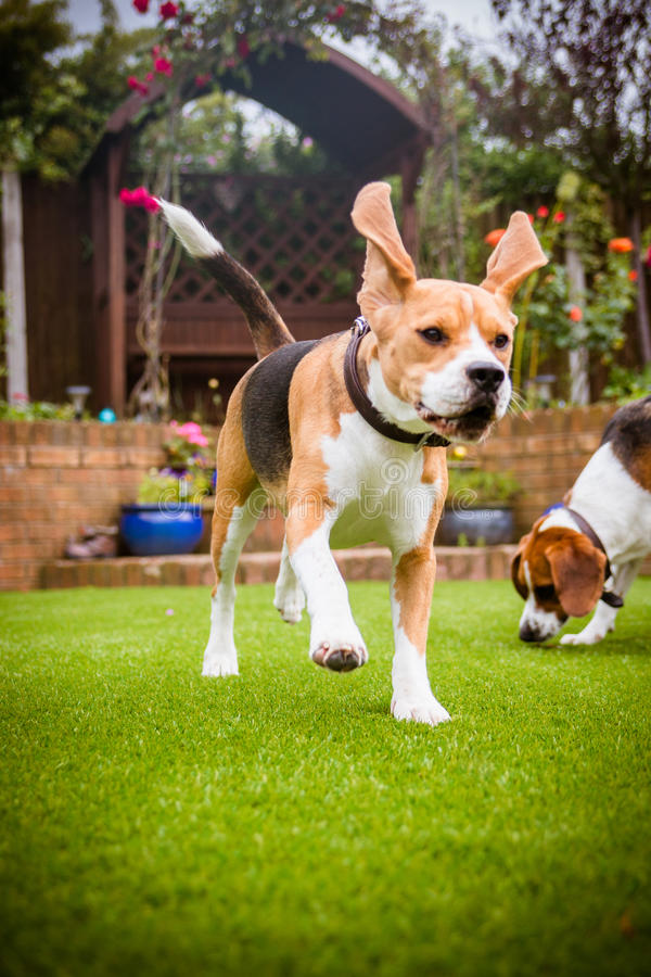 Beagles having fun running royalty free stock image