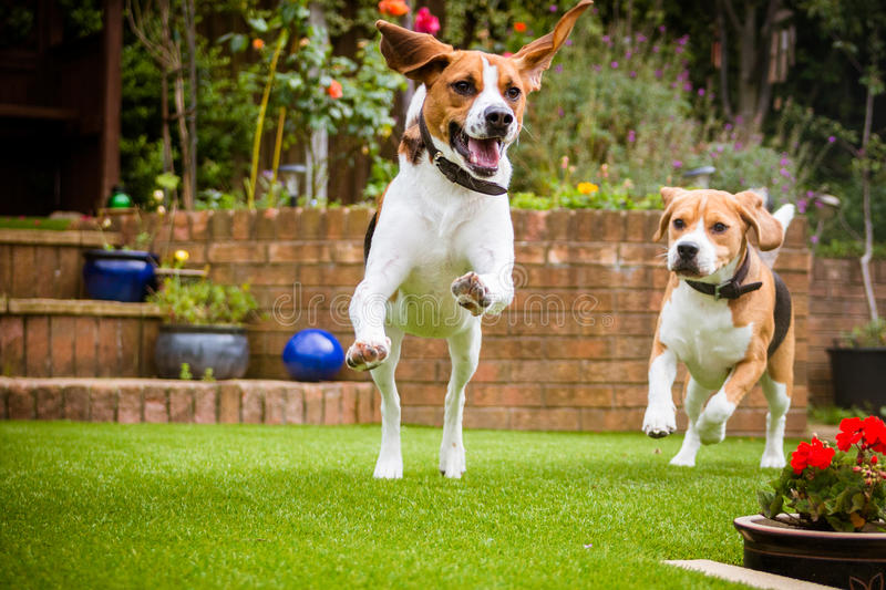 Pair of Dogs Having Fun Running royalty free stock photography