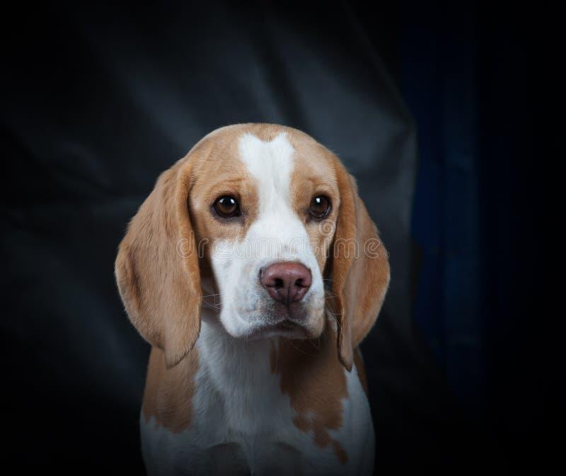 Beaglestående arkivbild