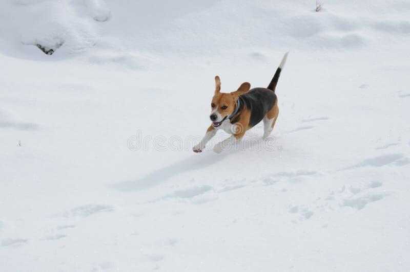 Beagletryckvåg royaltyfri bild
