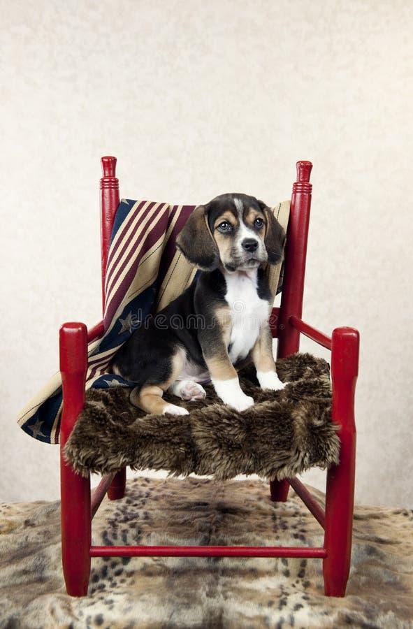 Beaglevalp i en stol arkivbild