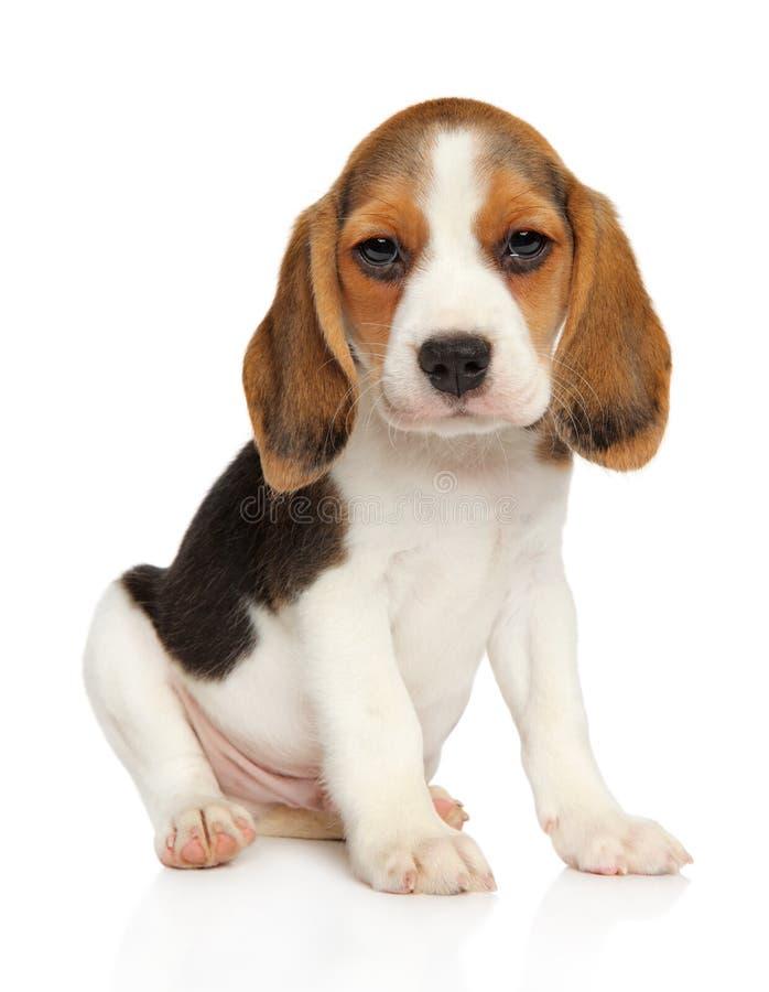 Beaglevalp på en vit bakgrund royaltyfria bilder