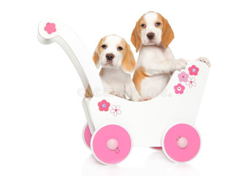 Beaglevalpar i en barnvagn royaltyfri bild