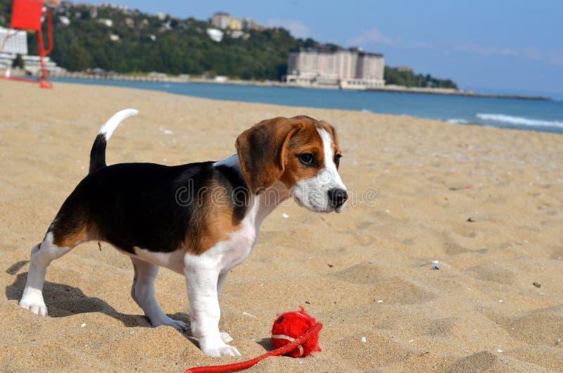 Beaglevalphund på stranden royaltyfria bilder