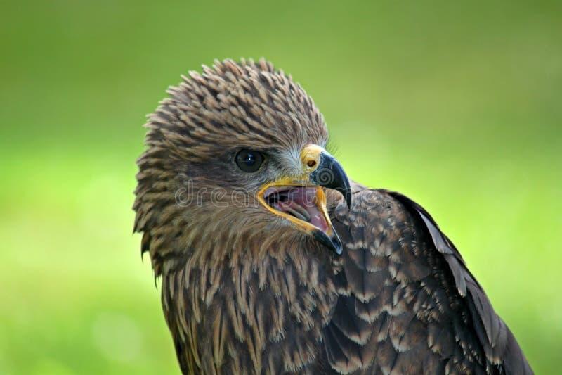 Beak, Bird, Bird Of Prey, Falcon stock photography