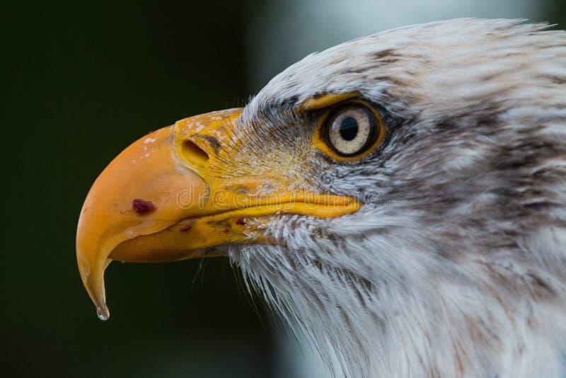 Beak, Bird, Bird Of Prey, Fauna stock images