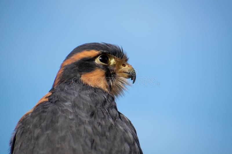 Beak, Bird, Falcon, Fauna stock image