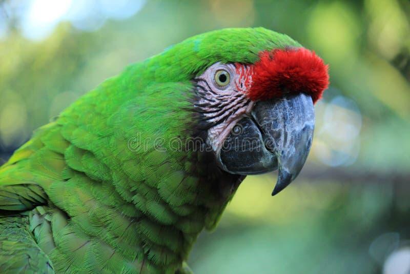 Beak, Bird, Parrot, Fauna stock image