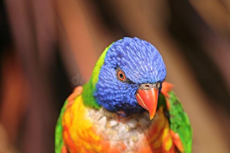 Beak, Bird, Parrot, Lorikeet royalty free stock photos