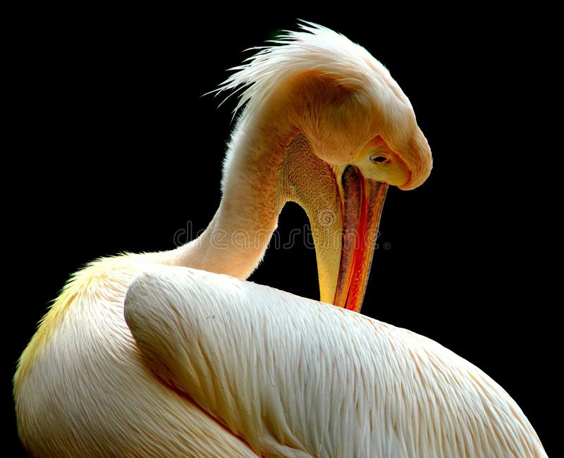Beak, Bird, Pelican, Fauna royalty free stock photo