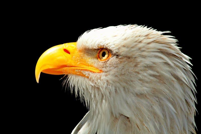 Beak, Bird, Bird Of Prey, Eagle
