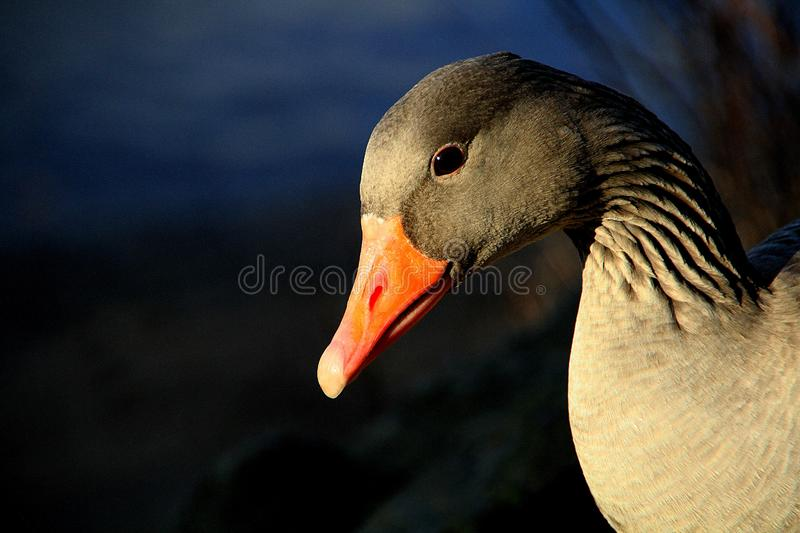 Beak, Bird, Water Bird, Ducks Geese And Swans stock image