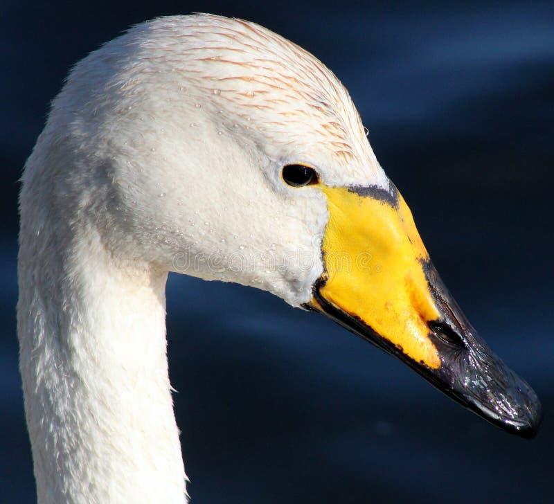 Beak, Bird, Water Bird, Ducks Geese And Swans royalty free stock photo