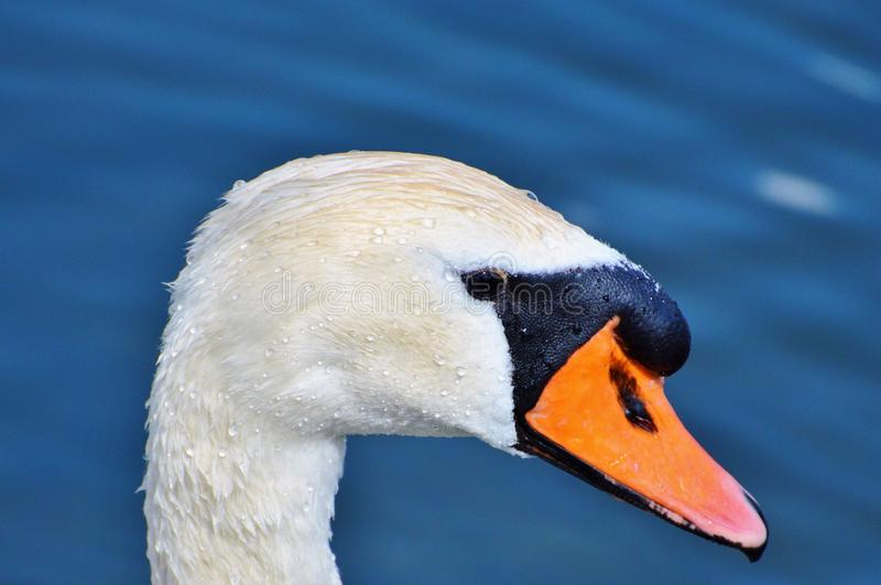 Beak, Bird, Water Bird, Ducks Geese And Swans royalty free stock photography
