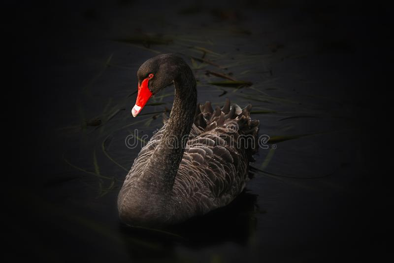 Beak, Black Swan, Water Bird, Bird stock photo