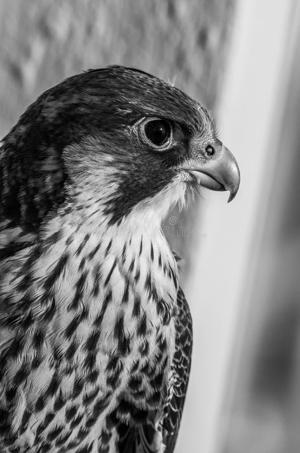 Beak, Black And White, Falcon, Fauna stock image