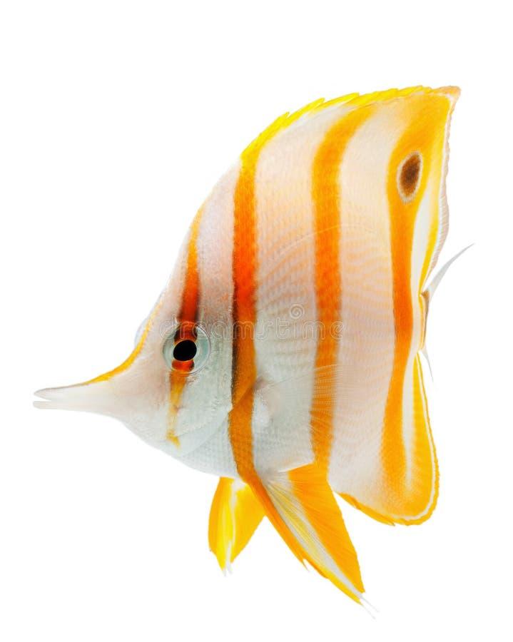 Beak coralfish, copperband butterflyfish, isolated. Beak coralfish or copperband butterflyfish, isolated on white stock photo