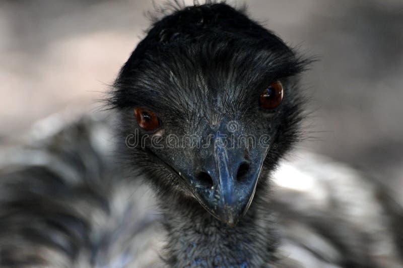 Beak, Emu, Bird, Fauna royalty free stock photos