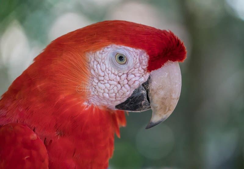 Beak, Red, Bird, Macaw stock image