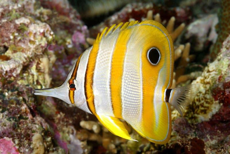 Beaked Coralfish stock photos