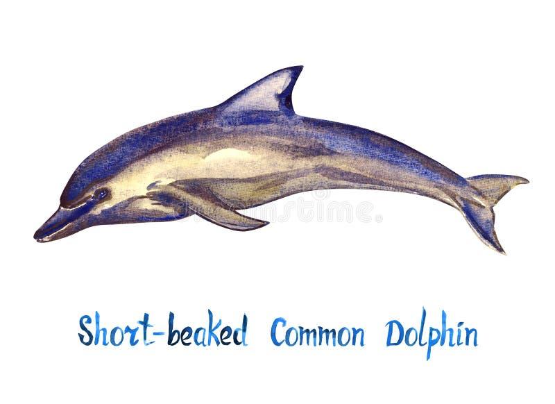 Beaked pospolity delfin, odizolowywający na bielu royalty ilustracja