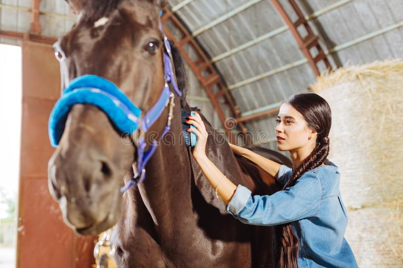 Beaming happy horsewoman cleaning beautiful dark horse. Cleaning horse. Beaming happy horsewoman wearing stylish denim clothes cleaning beautiful dark horse stock images
