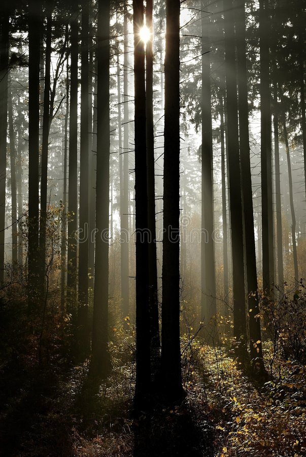 beams of light through the trees in the forest