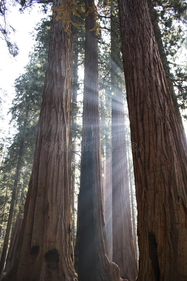 Beams of Sunlight Through Trunks of Giant Sequoia Redwood Trees royalty free stock photo