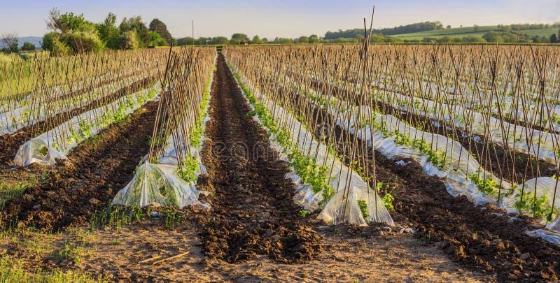 Download Bean stock image. Image of green, crop, farming, growing - 25231967