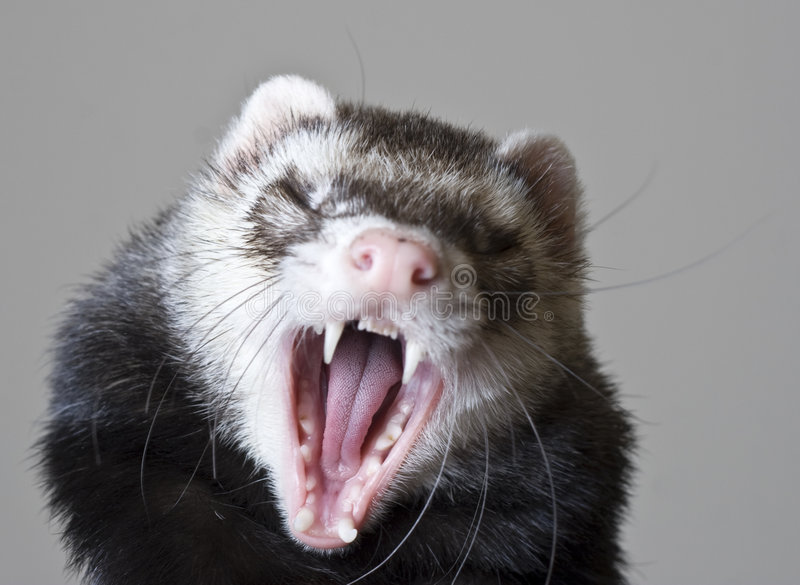 Bean the Ferret. Dark brown/black sable male ferret with dark eyes and perfect pink nose. Yawning and showing his teeth. Amazing detail of molars and tongue