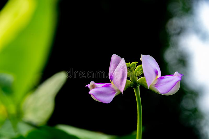 Long bean flower in garden with green leaves on background stock images