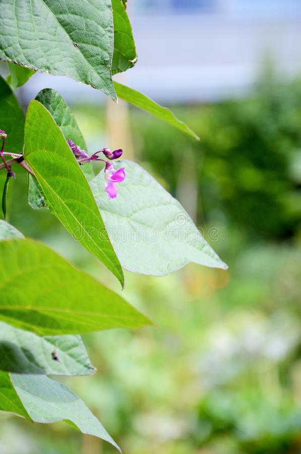 Bean flowers popping up in between green leaves. Purple bean flowers, bean flowers in kitchen garden, bean plant in early summer, organically grown beans royalty free stock photo