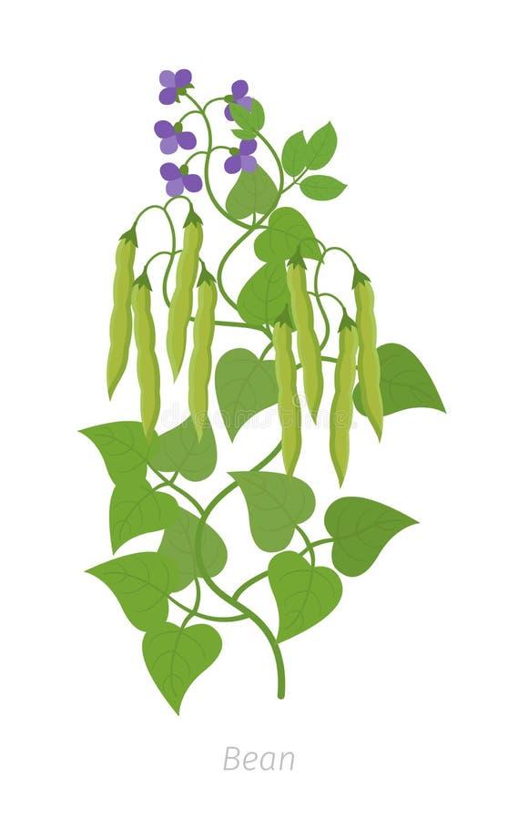 Bean Plant Fabaceae da família do feijão Planta com flores e vagens dos feijões ilustração do vetor