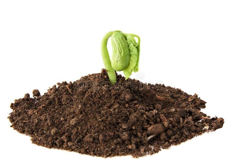 Download Bean plant growing stock image. Image of dirt, closeup - 15629807
