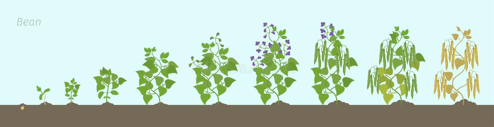 Bean plant. In the soil. Family Fabaceae phases set ripening period. Life cycle, animation progression. Growth stages of bean plant In the soil. Bean family stock illustration
