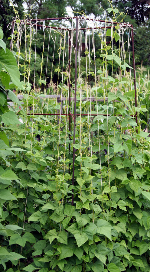 Free Bean Plants On The Garden Bed Stock Photo - 17138810