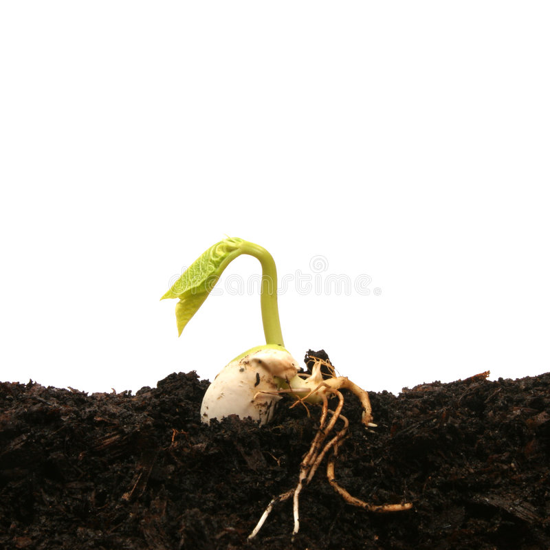 Download Bean seed germinating stock image. Image of stalk, growth - 4316533