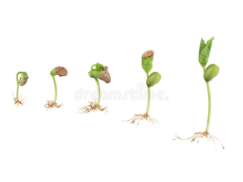Bean seed germination royalty free stock photography