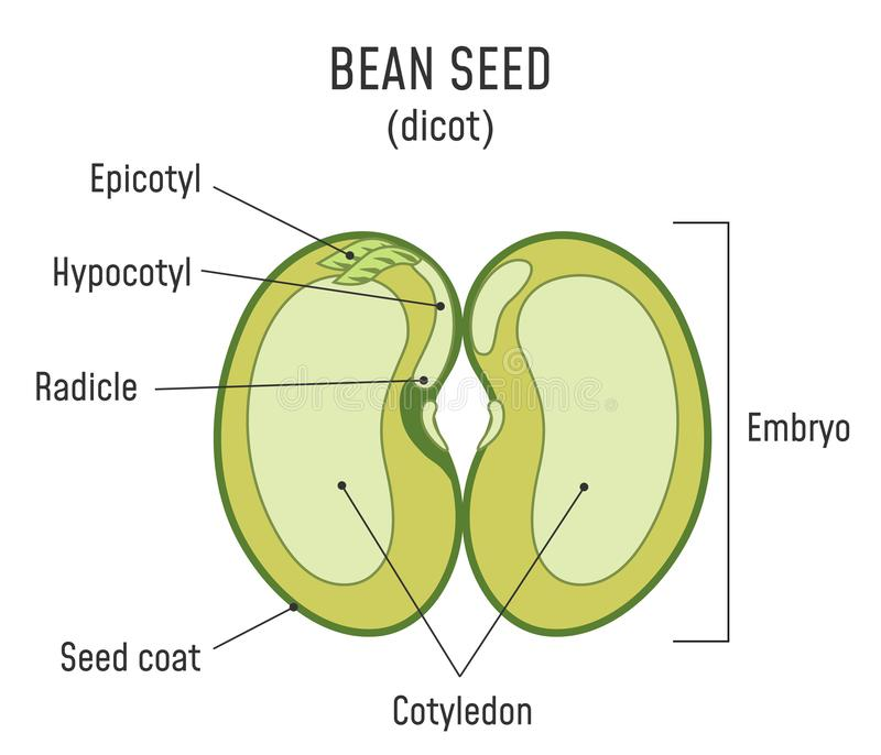 Bean Seed Structure Dicot illustration stock