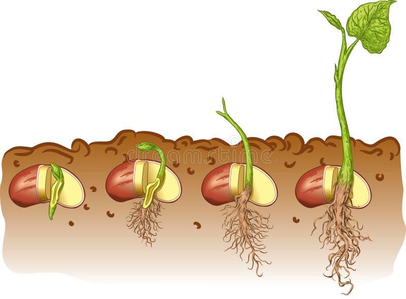 Bean seed royalty free illustration