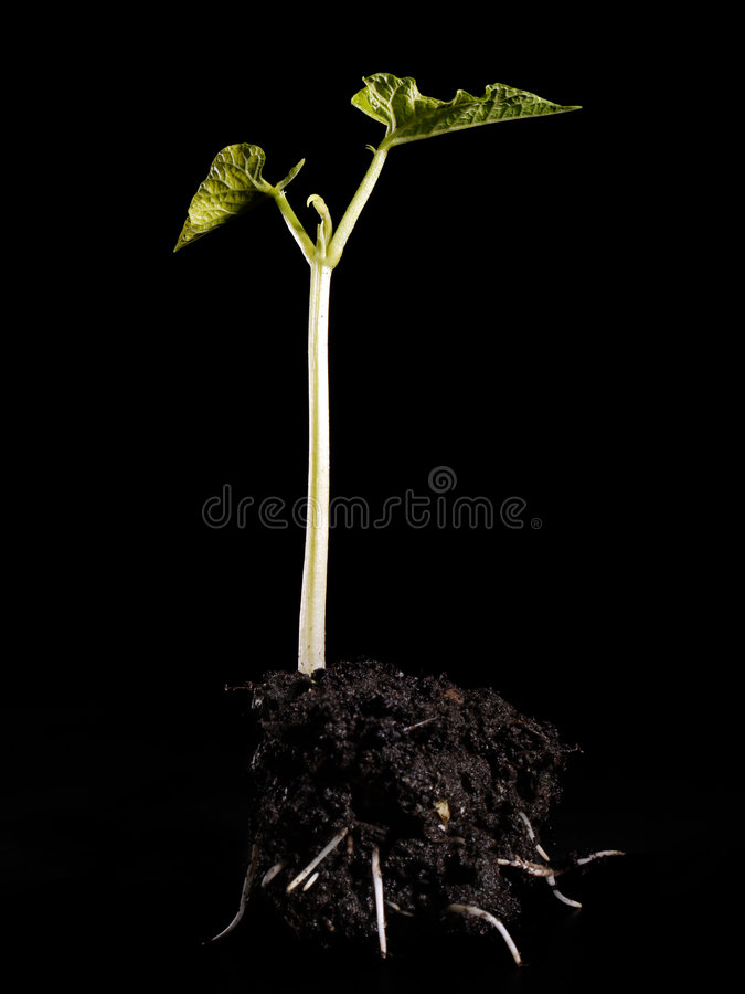 Bean sprout stock photography